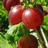 Uva Espina, Ribes Uva Crispa M17 (Fruto Rojo)