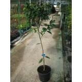 Clementina Clemenules en Maceta de 25 Cm