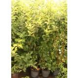 Manzano Verde Doncella en Maceta de 25 Cm
