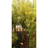 Frutal Melocotonero Carson en Maceta de 25 Cm