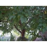 ARBOL Morera-Morus Fruitler en Maceta de 25 Cn