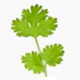 Planta Cylandro en Maceta de 10 Cm