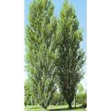 Arbol Populus Italica Nigra(Chopo) en Maceta de 25 Cn