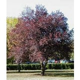 Arbol de Prunus Pisardi Nigra(Ciriuelo Hojas Rojas) Calibre 6/8