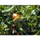 Arbol de Quercus Coccifera en Maceta de 20 Cen