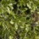 Arbol de Quercus Coccifera en Maceta de 25 Cen