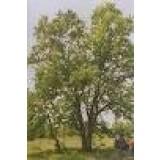 Arbol de Quercus Faginea en Maceta de 20 Cen