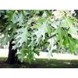 Arbol de Quercus Rubra en Maceta de 25 Cent