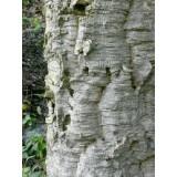 Arbol de Quercus Suber en Maceta de 25 Cent