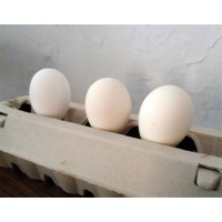 Huevos para Incubar de Gallina Leghorn. 12 Unidades