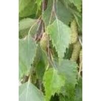 Planta de Abedul (Betula Alba)