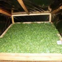 Secado de Hoja de Moringa Oleifera para la Venta