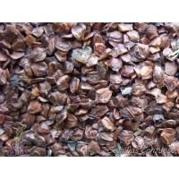 Semillas Aliso Alnus Glutinosa