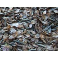 Semillas Casuarina Equisetifolia Casuarina Equisetifolia