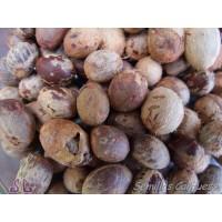 Semillas Palmito Chamaerops Humilis