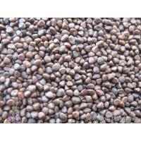 Semillas Jaguarzo, JARA de Monpelier Cistus M