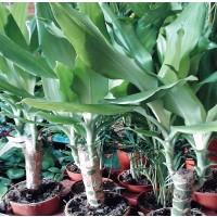 1 Planta de Palmera Yucca. Altura Planta 20/3
