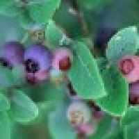 Arandano Fruto Azulado Star en Maceta de 20 Cm