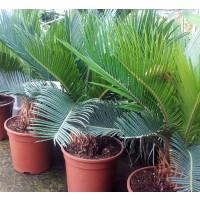 Planta de Palmera Cica CYCA Revoluta, Sagú. Altura Planta 40/50 Cm