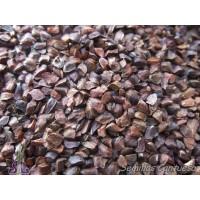 Semillas Cupressus Macrocarpa Cupressus Macrocarpa