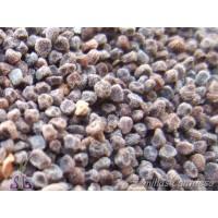 Semillas JARA Blanca Halimium Atripicifolium
