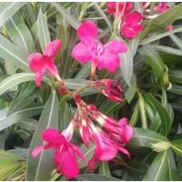 1 Planta de Adelfa Roja. Nerium Oleander. Alt