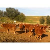 9 Vacas Limusin con Carta