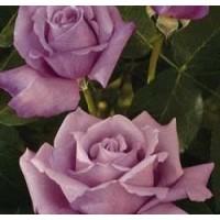 Rosa Charles de Gaulle Ct