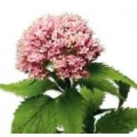 Valeriana Officinalis. 300 Semillas.