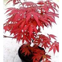 1 Planta Arce Japonés. ACER Palmatum Atropurp