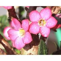 1 Planta de Rosa del Desierto. Flor Rosa. Ade