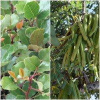 Planta de Ceratonia Siliqua - Algarrobo. en A