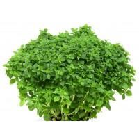 Planta de Ocimum Basilicum, Albahaca. 10 - 20