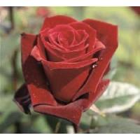 Rosa Barkarole Rd