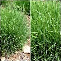 Pack de 4 Plantas de Lastón. Brachypodium Retusum. para Terrenos Aridos