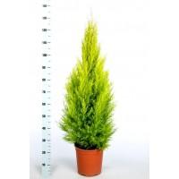 Planta Natural Cupressus Macrocarpa, Cipres A
