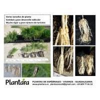 Plantas de Esparrago. Semilleros de Espárrago. Macetillas de Espárrago