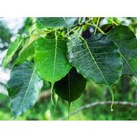 Semillas  de Higuera Sagrada. Ficus Religiosa