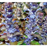 1 Planta de Consuelda Media, Ajuga Reptans. Altura Planta 15 - 20 Cm