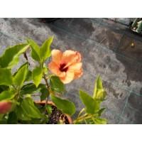 Hibiscus Arbustivo en Maceta de 17 Centímetro