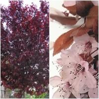 1 Arbol de Prunus Pissardii. Espectacular Flo