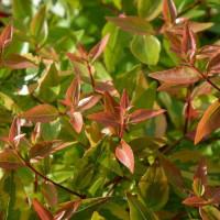 Abelia Común - Maceta de 10Litros