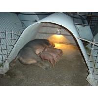 Cerdos Duroc Reproductores