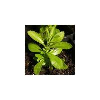 Estevia (Stevia Rebaudiana)