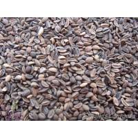 Semillas Facelia Phacelia Tanacetifolia