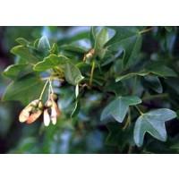 1 Planta de Arce de Montpellier, Arce Menor. en Alveolo Forestal. 30 - 40 Cm