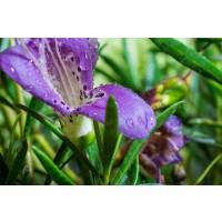 1 Planta de Eremophila Nivea. Altura 50 Cm.