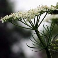 Comino. Cuminum Cyminum Aromatica. 100 Gr / 30.000 Semillas
