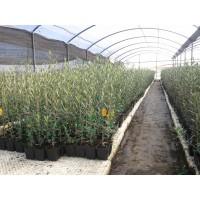 Comprar planton olivo picual venta online y precios for Viveros de olivos