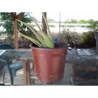 Planta de Aloe Vera en Maceta de 12 Cn.